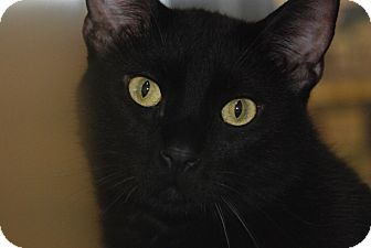 Domestic Shorthair Cat for adoption in Houston, Texas - Sammy