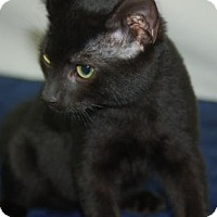 Domestic Shorthair Cat for adoption in Harrisonburg, Virginia - Jacques