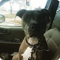 Adopt A Pet :: Chanel - Villa Park, IL