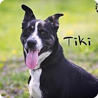 Adopt A Pet :: Tiki - Joliet, IL