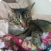 Domestic Shorthair Cat for adoption in Gaithersburg, Maryland - Felix