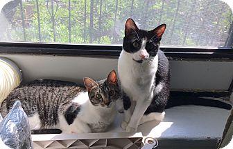 Domestic Shorthair Cat for adoption in NEW YORK, New York - Eddy