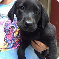 Adopt A Pet :: Baja - Cashiers, NC