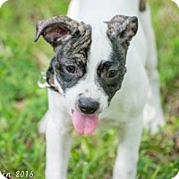 Adopt A Pet :: Ben - Bradenton, FL