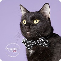 Domestic Shorthair Cat for adoption in Apache Junction, Arizona - Paul