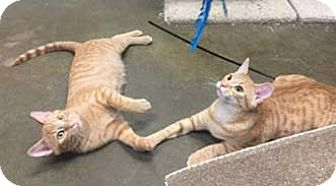Domestic Shorthair Kitten for adoption in Merrifield, Virginia - Cumin