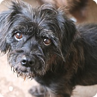 Poodle (Miniature)/Schnauzer (Miniature) Mix Dog for adoption in Woonsocket, Rhode Island - Annabella