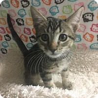 Adopt A Pet :: TODDLES - Fountain Hills, AZ