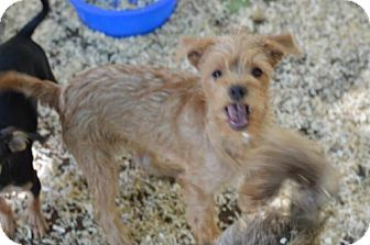 Parson Russell Terrier/Irish Terrier Mix Puppy for adoption in Vacaville, California - Cisco