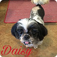 Adopt A Pet :: Daisy - Walker, LA