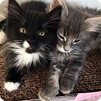Domestic Mediumhair Kitten for adoption in North Las Vegas, Nevada - Timmie