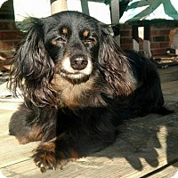 Dachshund Dog for adoption in Fairfield, Ohio - Victor