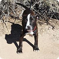 Adopt A Pet :: Remarkable Ms River - Albuquerque, NM