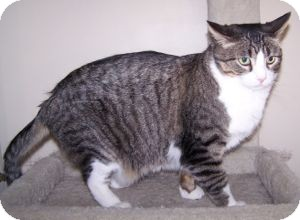 Domestic Shorthair Cat for adoption in Colorado Springs, Colorado - Big Ben