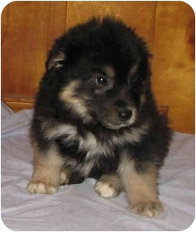 Bobby | Adopted Puppy | Portsmouth, NH | German Shepherd Dog/Bernese ...