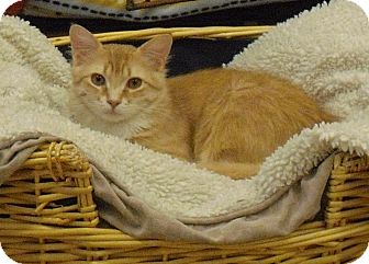 Domestic Mediumhair Cat for adoption in Wickenburg, Arizona - Christmas