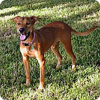 Adopt A Pet :: Nika - Pflugerville, TX