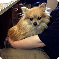 Adopt A Pet :: Pookey - Shawnee Mission, KS