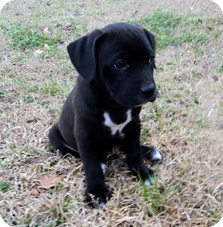Dog Ready For Adoption Yellow Labrador Retriever Hound ...