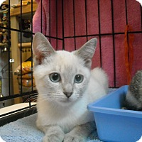 Adopt A Pet :: Snow (Purr machine!) - Arlington, VA