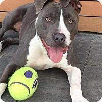 Adopt A Pet :: Moose - San Diego, CA