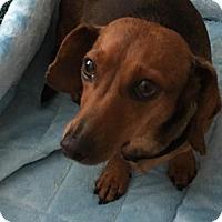 Adopt A Pet :: Soleil - Dallas, TX