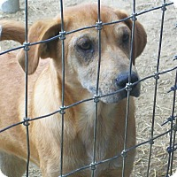 Shar Pei/Labrador Retriever Mix Dog for adoption in Mexia, Texas - Freda