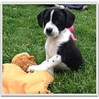 Adopt A Pet :: Charlie - Mechanicsburg, PA
