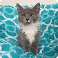 Domestic Mediumhair Kitten for adoption in Mebane, North Carolina - Winnie (the Pooh)