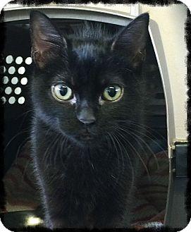 Domestic Shorthair Kitten for adoption in Los Alamitos, California - Atticus