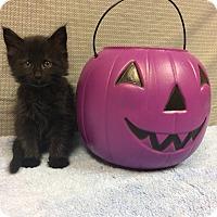 Domestic Mediumhair Kitten for adoption in Moody, Alabama - Binx