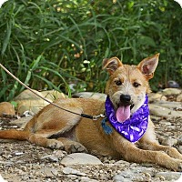 Terrier (Unknown Type, Medium)/Shepherd (Unknown Type) Mix Puppy for adoption in Sunnyvale, California - LuLu