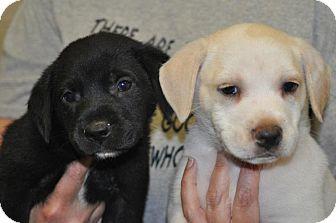 Labrador Retriever Mix Puppy for adoption in Trenton, New Jersey - Gallagher (tan pup)