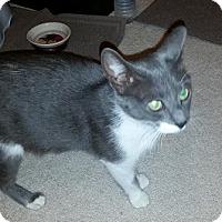 Adopt A Pet :: Smokey - Toledo, OH