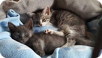 Domestic Shorthair Kitten for adoption in Freeport, New York - Smokey Mel