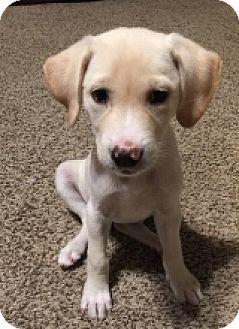 Labrador Retriever Mix Puppy for adoption in Flower Mound, Texas - Freckles