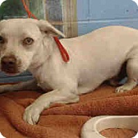Dachshund Mix Dog for adoption in San Bernardino, California - URGENT on 10/19 SAN BERNARDINO