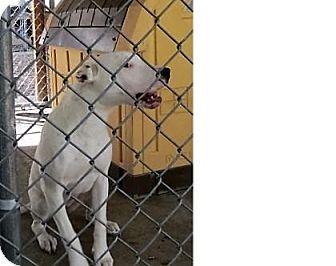 Dalmatian/American Pit Bull Terrier Mix Puppy for adoption in Monte Vista, Colorado - Merangue