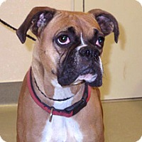 Boxer Mix Dog for adoption in Wildomar, California - Ginny