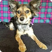 Chihuahua Mix Dog for adoption in Pluckemin, New Jersey - Rylin
