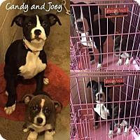 Adopt A Pet :: Joey - Ponca City, OK