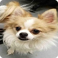 Adopt A Pet :: AGUSTO - Peoria, IL