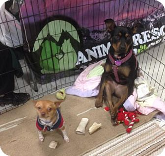Manchester Terrier/Pit Bull Terrier Mix Dog for adoption in Denver, Colorado - Susie & Tyco