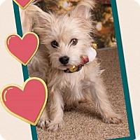 Adopt A Pet :: Terra - Scottsdale, AZ