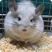 Adopt A Pet :: 3m white female chinchilla - Hammond, IN