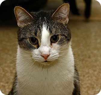 American Shorthair Cat for adoption in Lombard, Illinois - Cricket