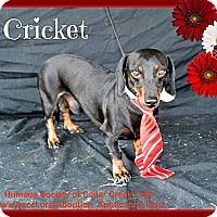 Adopt A Pet :: Cricket - Plano, TX