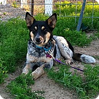 Adopt A Pet :: Dakota - Phoenix, AZ