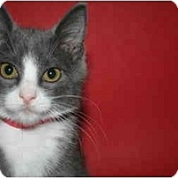 Adopt A Pet :: PETUNIA - SILVER SPRING, MD