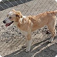 Adopt A Pet :: Olivya - Southampton, PA
